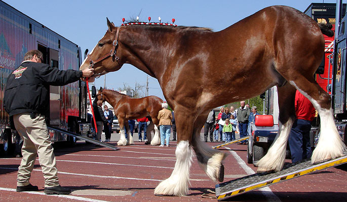 The Budweiser Clydesdale horses were in town for several functions,