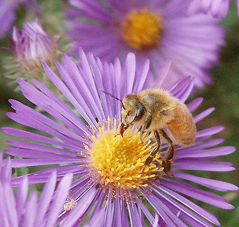 New England Aster Is A Favorite Flower Of Bees